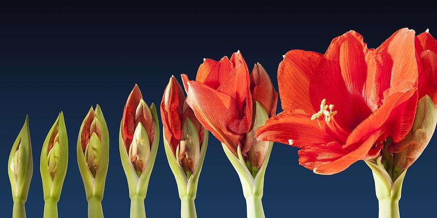 1-blossoming-amaryllis-flower-tilen-hrovatic